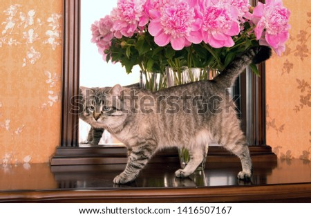 Beautiful, domestic cat near a bouquet of peonies in a vase on the dresser. Who stands on the mirror #1416507167