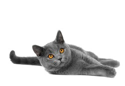 Beautiful domestic gray or blue British short hair cat with yellow eyes  on a white background