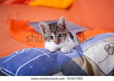 Beautiful domestic kitten