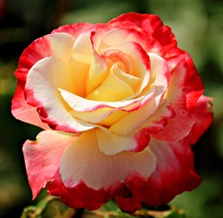 Beautiful double Delight Hybrid Tea Rose  close up