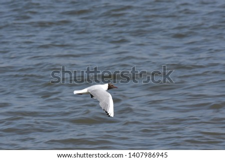 Beautiful Dove bird flying over blue sea water. Background picture of a white bird in the sky.