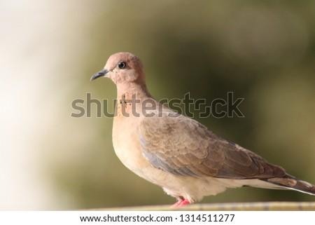 Beautiful Dove Bird pics