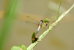 Beautiful dragonfly Brachydiplax chalybea on the branch