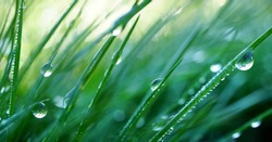 Beautiful droplets of water dew in the grass in the morning, macro. Grass in  morning dew in the spring summer on a green background in nature.