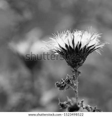 beautiful dry autumn flower with fluffy seeds, black and white, black and white #1523498522