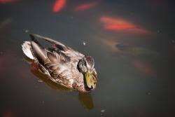 beautiful duck swims in a pond with red fish