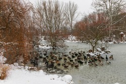 Beautiful ducks on a frozen pond in different positions.