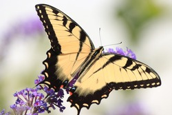 Beautiful eastern tiger swallowtail butterfly black yellow wings orange spots large eyed long antenna perched clinging pretty purple flowers feeding gathering pollen nectar pollen