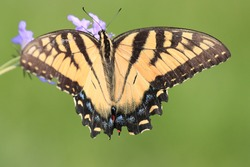 Beautiful eastern tiger swallowtail butterfly yellow black wings blue spots large eyed long antenna perched clinging pretty purple flowers feeding gathering pollen nectar attractive vivid green grass