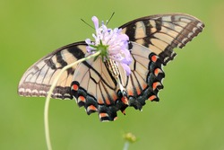 Beautiful eastern tiger swallowtail butterfly yellow black wings long antenna red spots perched pretty purple flowers gathering pollen nectar attractive vivid green grass background sunny summer day