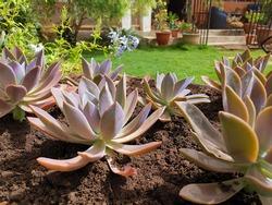 Beautiful Echeveria 'Perle von nurnberg' succulent