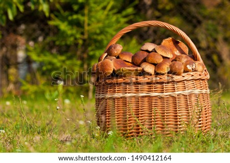 Beautiful edible mushroom (boletus edulis bull, borowik szlachetny, prawy, prawdziwek) in wicker basket. Mushroom picking in the polish forest. Zdjęcia stock ©
