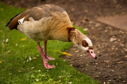Beautiful egyptian goose, duck, portrait in the London park, amazing focused wild animal