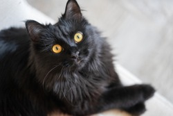 Beautiful elegant black cat lies on a chair and looks up at the owner.