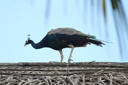 Beautiful elegant female peacock standing in top of the house or cottage/hovel with clouds in the background