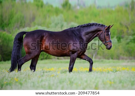 Beautiful elegant stallion sporting breed bridle with braided mane walks step on a background of green field