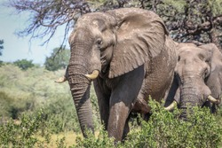 Beautiful Elephant in African landscape and scenery
