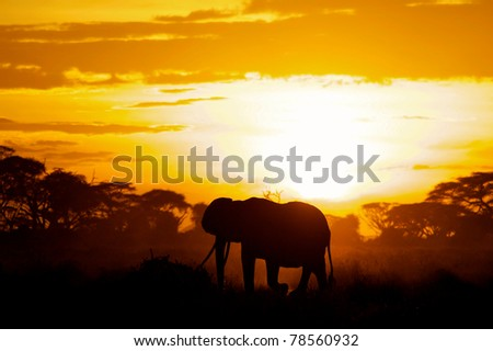 Beautiful elephant matriarch silhouetted by the African sun