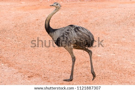 Beautiful Ema or Greater Rhea (Rhea americana) in the Brazilian wetland.