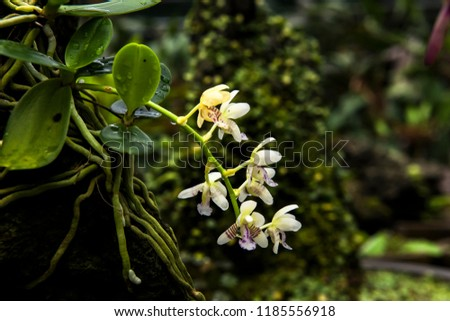 Beautiful Encylia Epiphytic orchid flower(Gastrochilus Aculifolius)