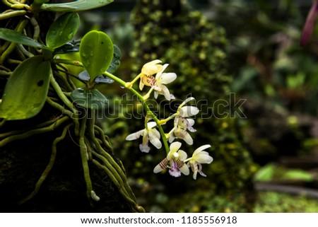 Beautiful Encylia Epiphytic orchid flower(Gastrochilus Aculifolius)