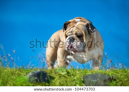 Beautiful Engish Bulldog outdoors standing on a blue sky background