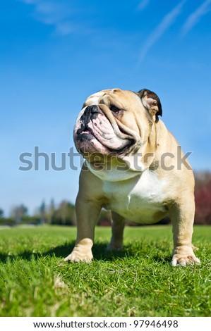 Beautiful english bulldog on a rock