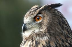beautiful Eurasian eagle-owl