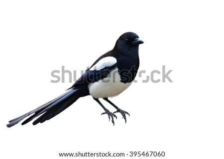 Beautiful Eurasian magpie, European magpie, Common magpie (Cyanopica cyanus) isolated on white background