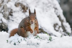 Beautiful Eurasian red squirrel (Sciurus vulgaris) playing in the snow, in the forest of the Netherlands.
