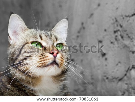 beautiful  European cat in front on a gray background