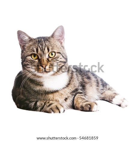 beautiful European cat lying on a white background - stock photo