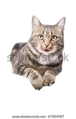beautiful European cat lying on a white background - stock photo
