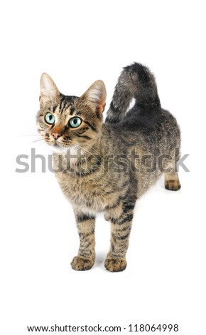 beautiful European cat on a white background