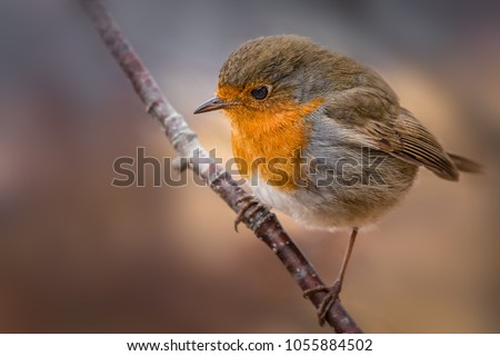 Beautiful European Robin. Typical bird. Curious, cautious, fast. Flying from place to place, exploring, climbing on a branch.