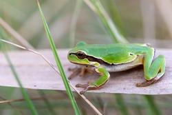 beautiful european tree frog (Hyla arborea formerly Rana arborea) on reeds, small amphibian from Europe. Hortobagy National Park, Hungary, puszta, UNESCO World Heritage Site