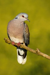 Beautiful european turtle dove, streptopelia turtur, sitting on branch in the summer. Colorful bird looking with interest from a twig. Wild animal observing surrounding in vertical composition.