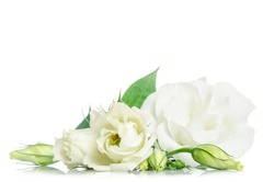 Beautiful eustoma flowers isolated on white background and free space for text at the top