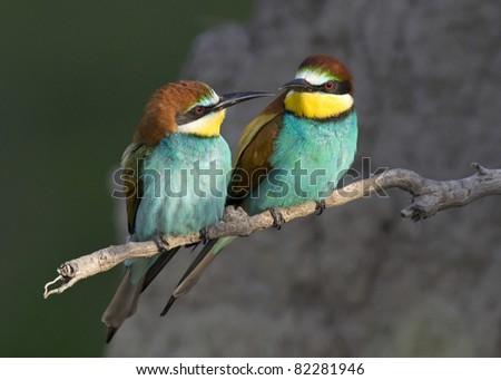 Beautiful exotic bird couple (bee-eater)