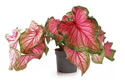 Beautiful exotic 'Caladium Florida Sweetheart' plant with beautiful pink and green leaves on white background
