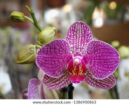 Beautiful exotic orchid plant. Flower of Phalaenopsis, white and purple color from Orchidaceae family plants, close up view