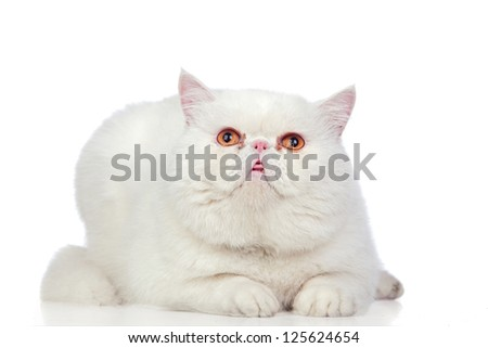 Beautiful exotic shorthair cat isolated on white background