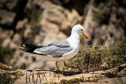 Beautiful Exotic White and Grey Seagull Around Mountain Rocks | Nature and Wildlife Bird Photography of Birds