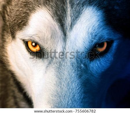 Beautiful eyes of a wild wolf #755606782