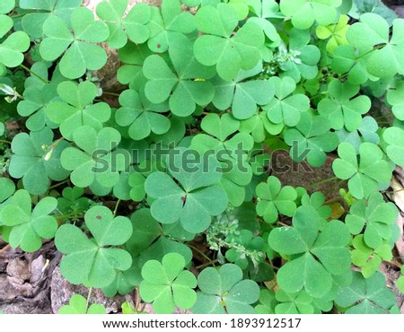 Beautiful f our-leaf clover trees background Stock fotó ©