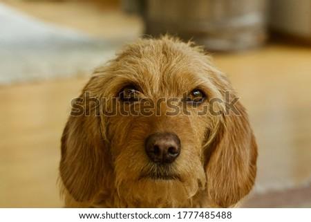 Beautiful face of a Basset fauve de Bretagne  Stock fotó ©