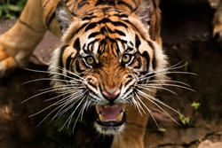 beautiful face of sumatran tiger