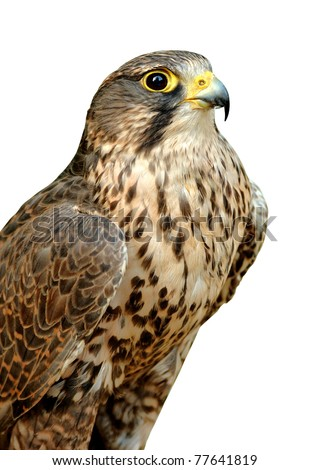 Beautiful falcon