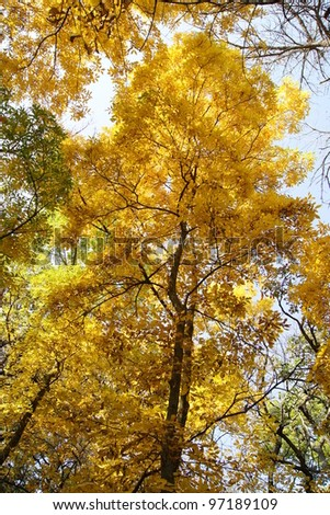 Beautiful Fall Autumn Tree with the leaves changing colors