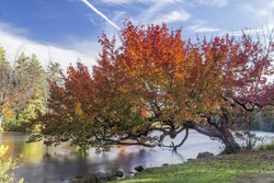 Beautiful fall colours on this old leaning tree on the river.